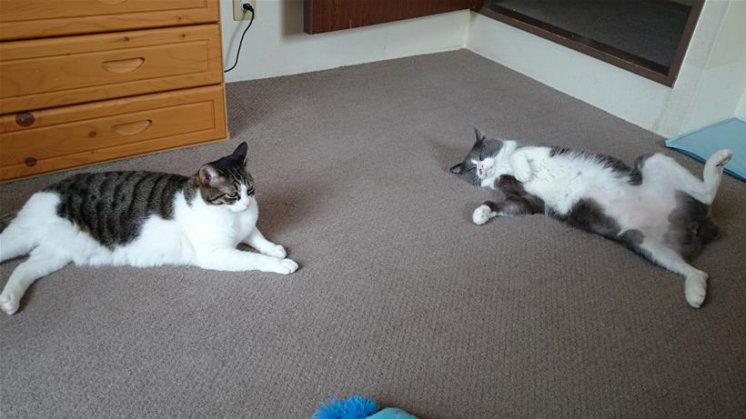 人の心配をよそにヘソ天している薄毛の愛猫モコと近くで寛ぐ愛猫ミミ