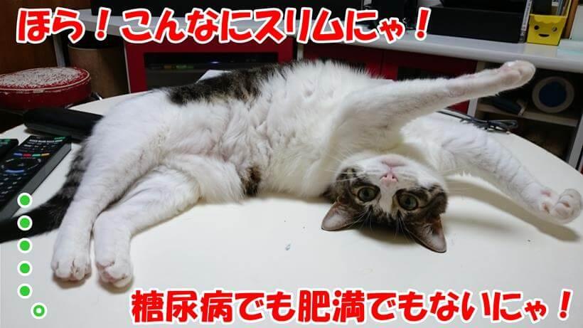 糖尿病でも肥満でもないと言っている体で仰向けになっている愛猫ミミ
