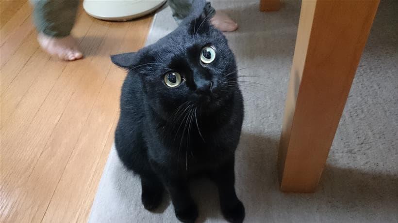 座ってイカ耳になっている黒猫カイくん