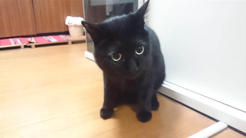 座って構える黒猫カイくん