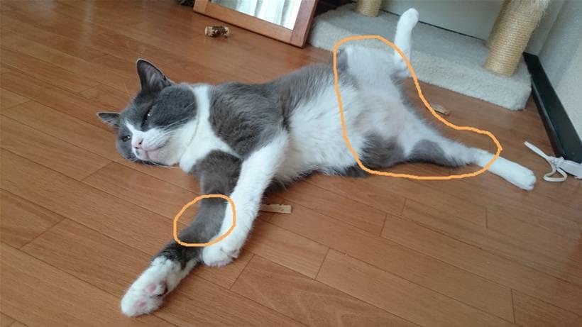 腕とお腹周りから足にかけて薄毛になっている愛猫モコ