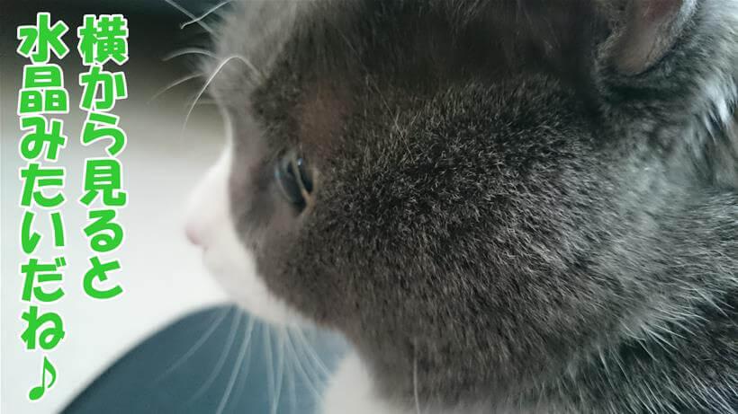 横から見ると水晶玉のような目をしている愛猫モコ
