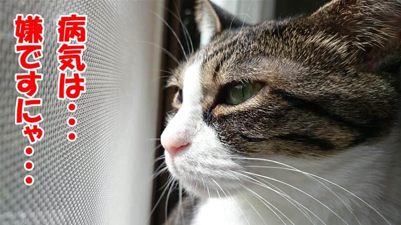 病気は嫌だと遠い目をする体の愛猫ミミ