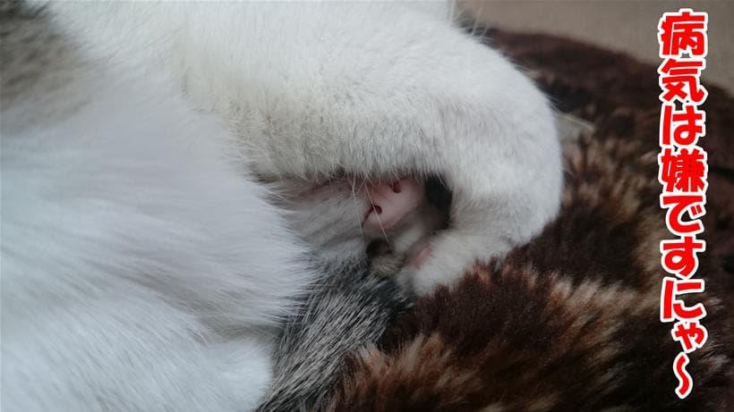 病気は嫌だと頭を抱える体の愛猫ミミ