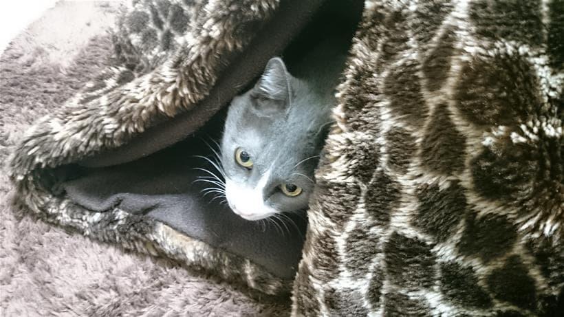 こたつの中から顔を出す愛猫モコ