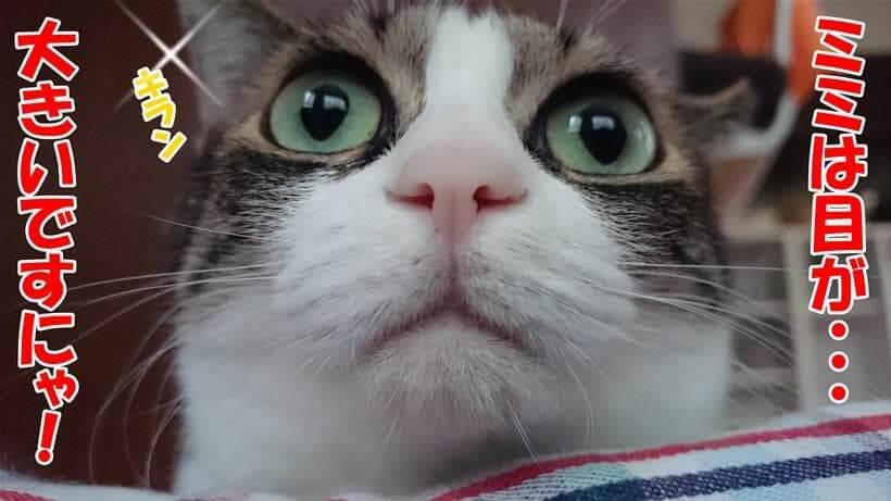 目が大きい愛猫ミミ