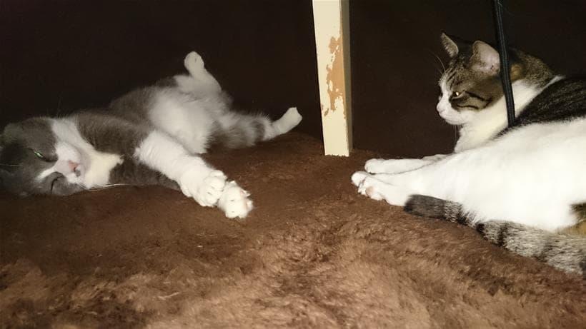 出した途端にこたつに入り浸る愛猫モコとミミ②