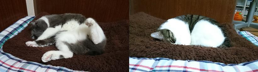冬用の猫マットの上で気持ち良さそうに寝ている愛猫モコとミミ