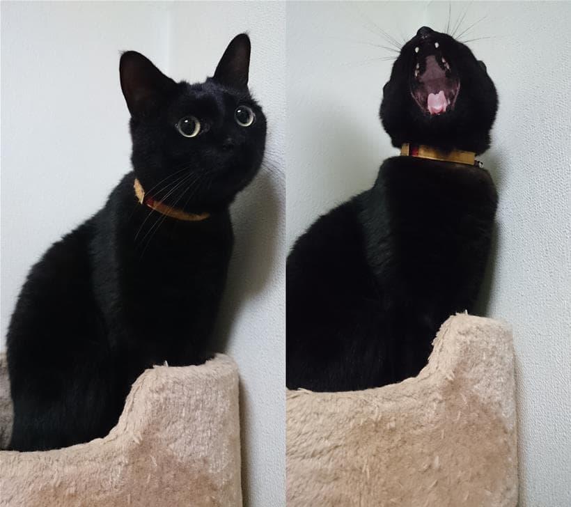 前庭疾患を発症した後も普段通りの生活を送っている実家の黒猫カイくん