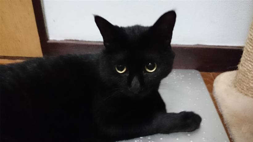 黒猫なので目の輝きが際立つ実家猫カイくん