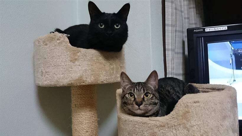 キャットタワーで寛ぐ実家の黒猫カイくんとキジトラのココちゃん