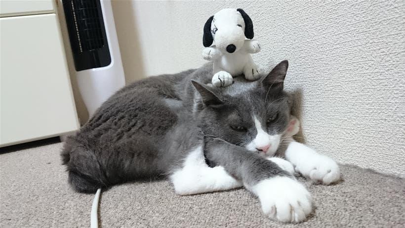 頭の上にスヌーピーのぬいぐるみを置かれてストレス感じている?薄毛の愛猫モコ