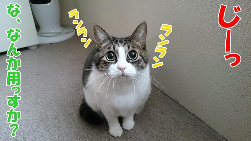 目をランランとさせて見つめてくる愛猫ミミ