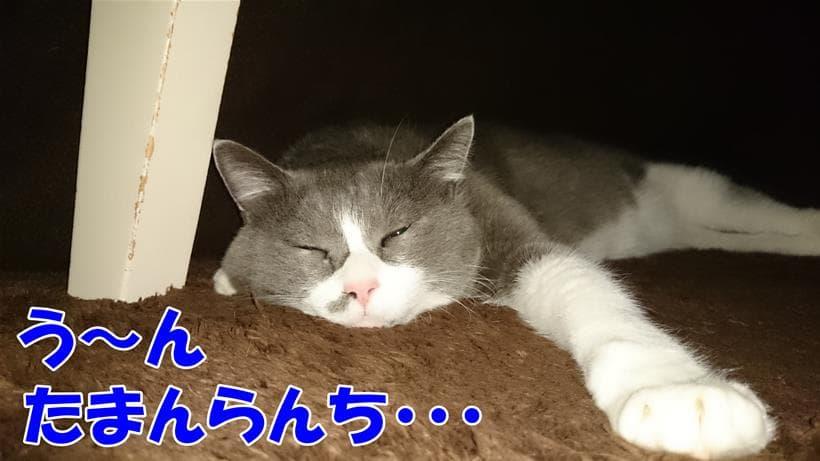 こたつの中で心地よく寝ている愛猫モコ