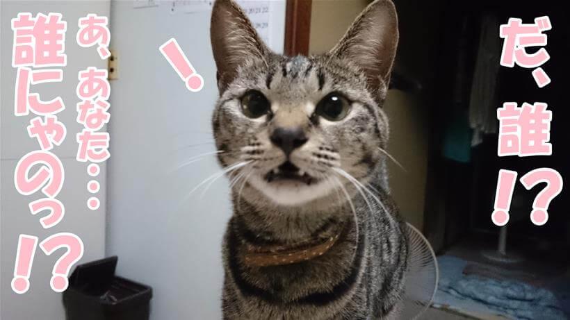 臆病で恥ずかしがり屋な実家のキジトラ猫ココちゃん