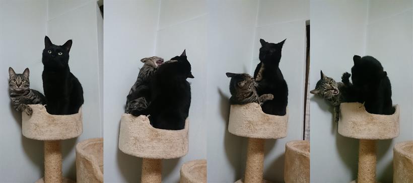 キャットタワーの上で取っ組み合いをしている実家の黒猫カイ&キジトラ猫ココ