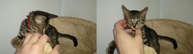 やんちゃな子猫時代の実家のキジトラ猫ココちゃん