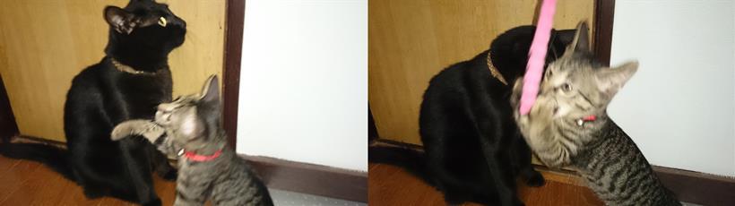 黒猫カイくんの近くで遊ぶ子猫時代のキジトラ猫ココちゃん