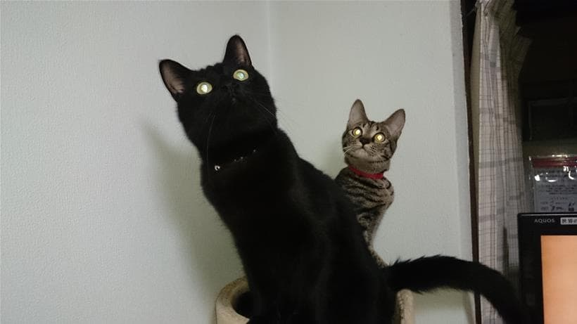 目が光っている実家の黒猫カイ&キジトラ猫ココ