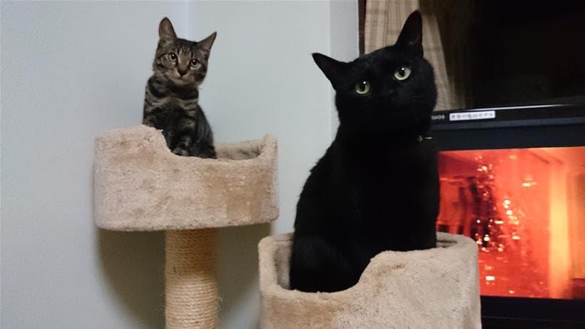 実家の先住猫の黒猫カイくんとキジトラ猫のココちゃん