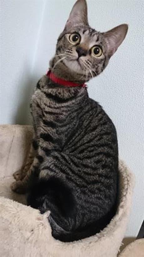 ツリ目を真ん丸にしてこちらを見ている実家のキジトラ猫ココちゃん