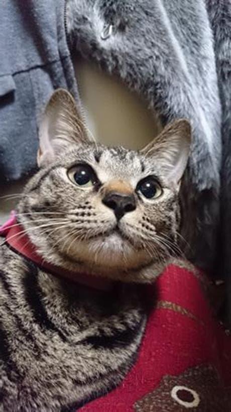 ローアングルで撮影した実家のキジトラ猫ココちゃん