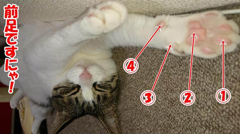 肉球の名称(愛猫ミミの前足)