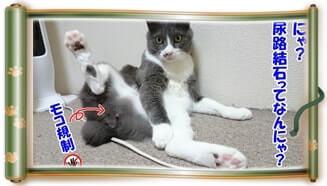 尿路結石とは何かと質問する体で毛繕いしている愛猫モコ(巻物Ver.)