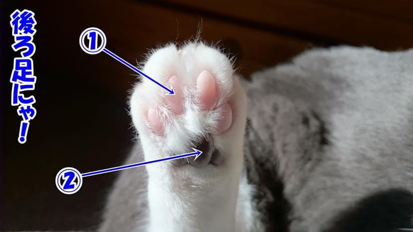 肉球の名称(愛猫モコの後ろ足)