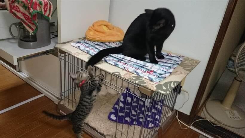 黒猫カイくんの尻尾で遊ぶキジトラのココちゃん