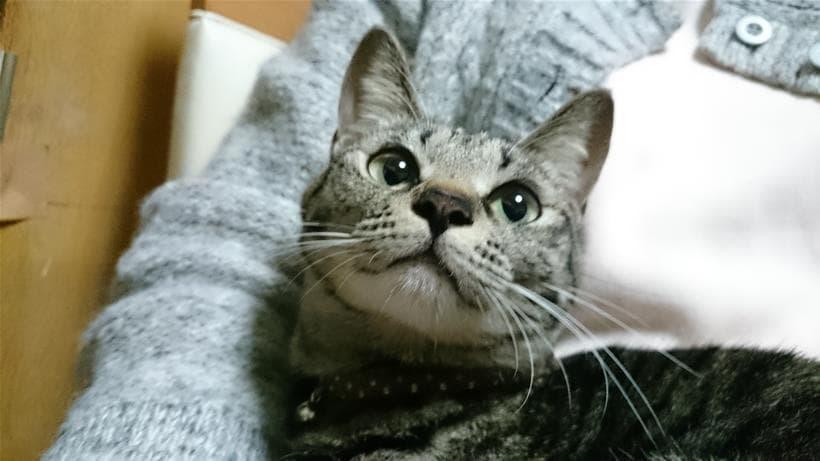 僕の母に抱っこされている実家のキジトラ猫ココちゃん①