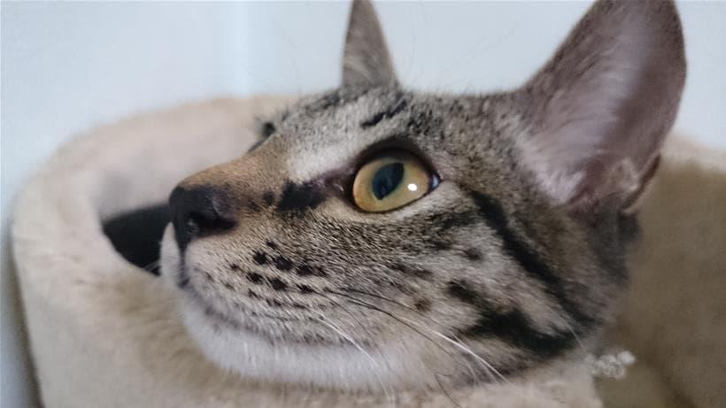 実家のキジトラ猫ココちゃんの横顔