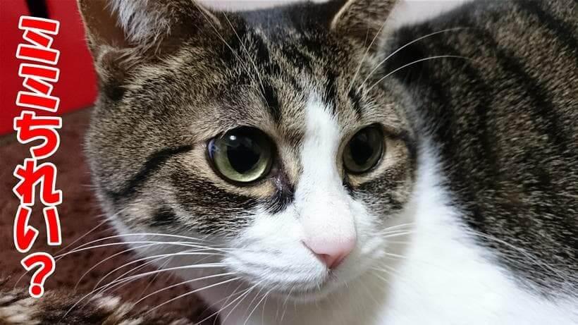 自分の事を綺麗?って聞いている体の愛猫ミミ