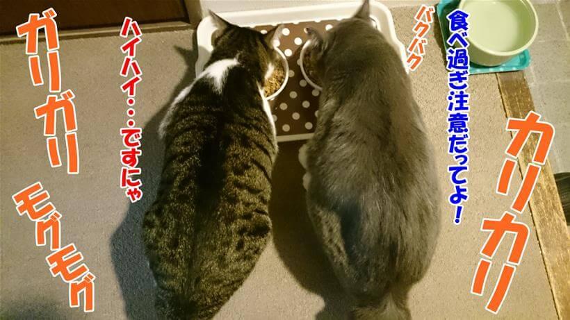 食べ過ぎ注意という飼い主の言葉を適当にあしらっている体で、ご飯を食べる愛猫たち