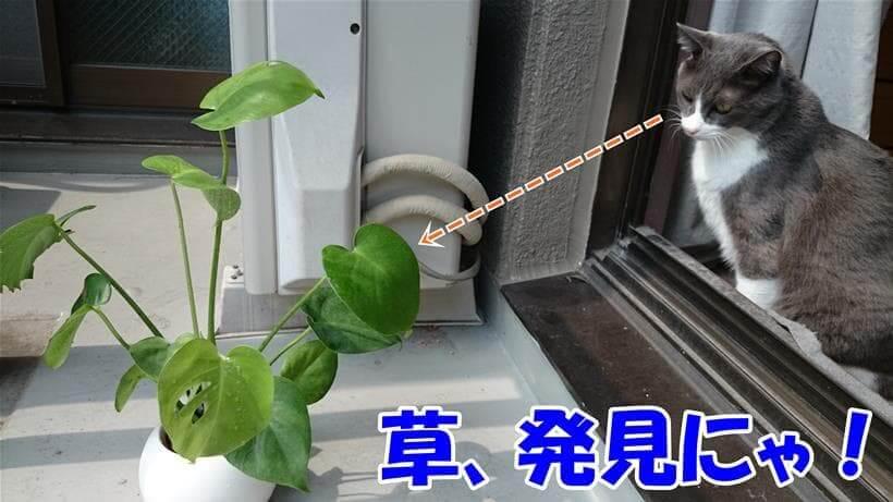 猫草と勘違いしている体で観葉植物を見つめる愛猫モコ