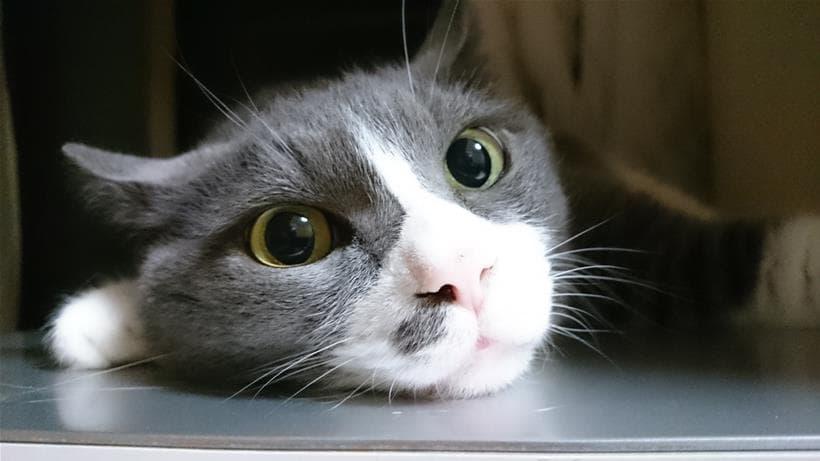 誤解されやすい愛猫モコはこちらの猫