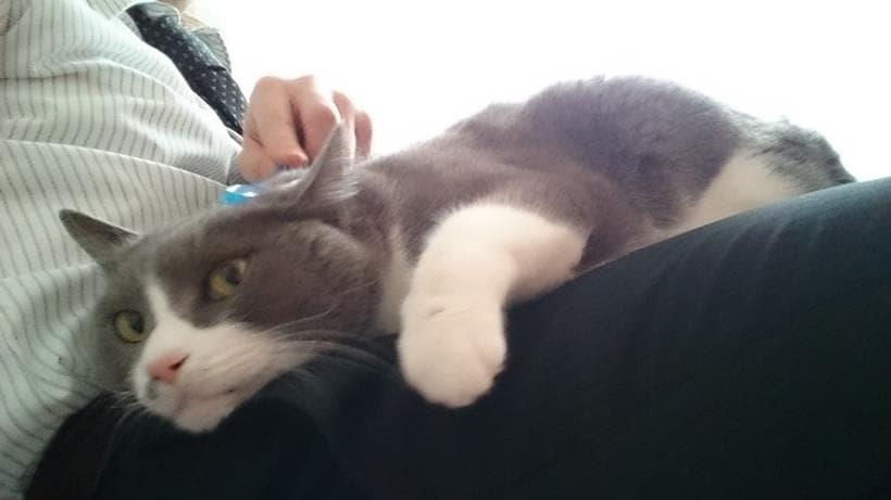 飼い主の膝の上で甘える愛猫モコ