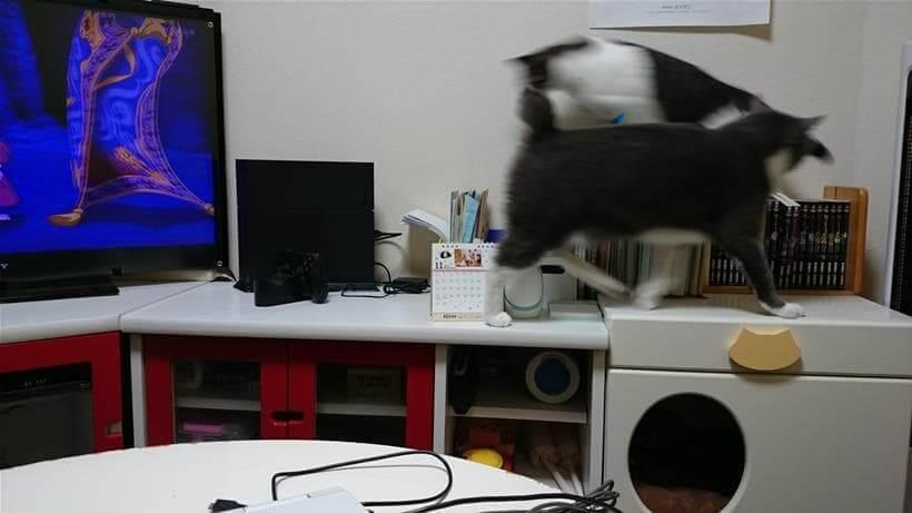 愛猫ミミを追う愛猫モコ