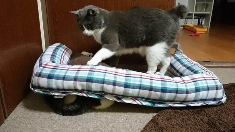 寝ている愛猫ミミを踏む愛猫モコ②