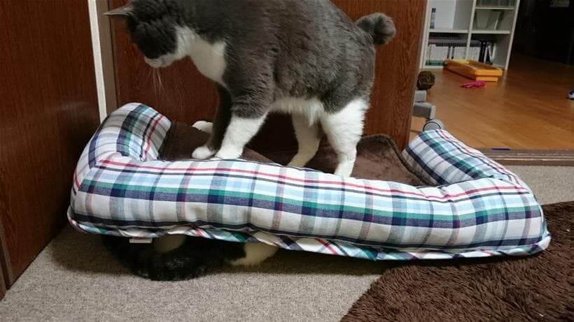 寝ている愛猫ミミを踏む愛猫モコ③