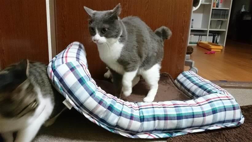 寝ている愛猫ミミを踏む愛猫モコ④