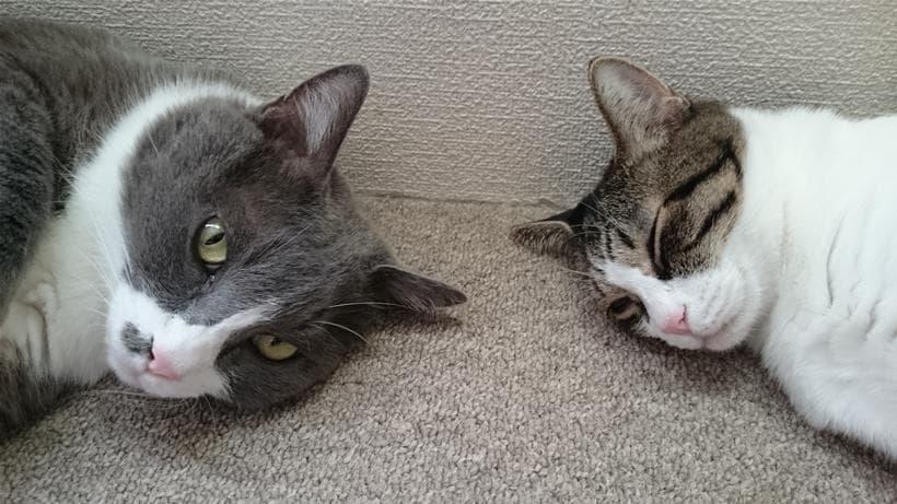近くで寝ている愛猫たち②