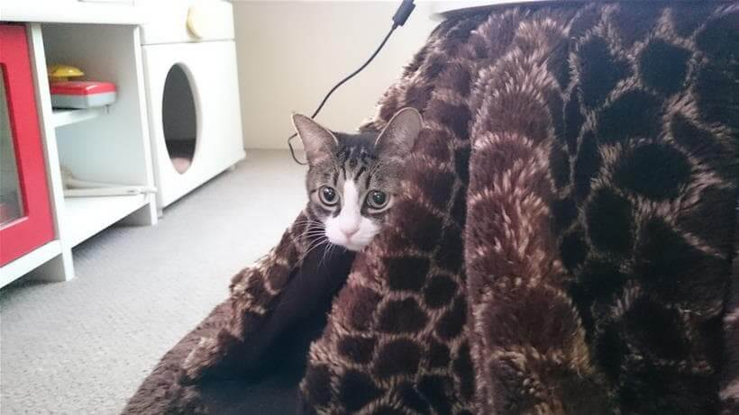 こたつから外の様子を伺う愛猫ミミ