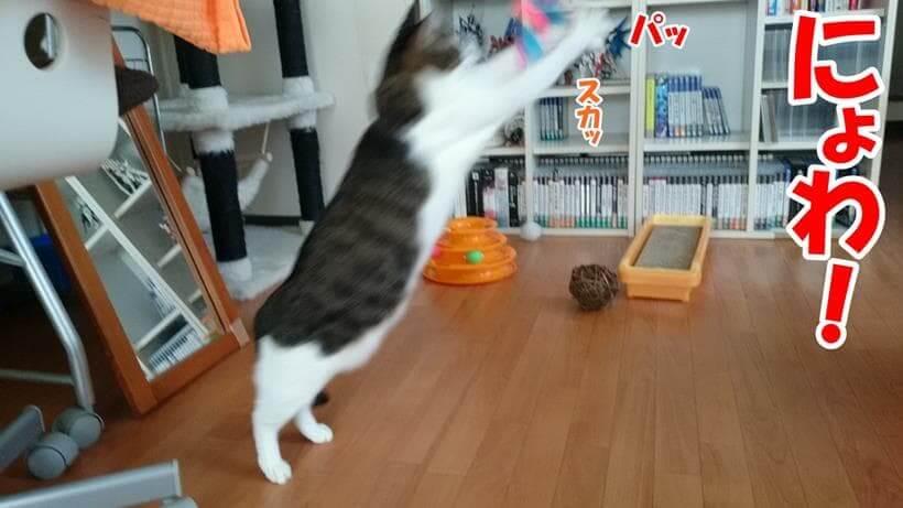 ジャンプしておもちゃに飛びついている愛猫ミミ