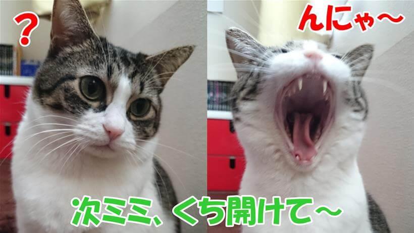 口を開けてと言われて大口を開ける体の愛猫ミミ