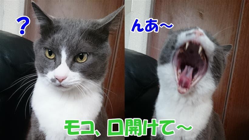 口を開けてと言われて大口を開ける体の愛猫モコ