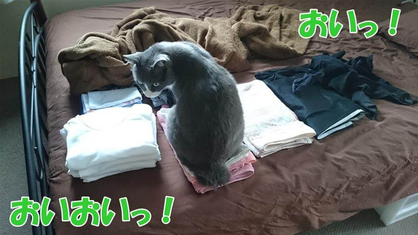 洗濯したばかりのタオルの上に座る愛猫モコ