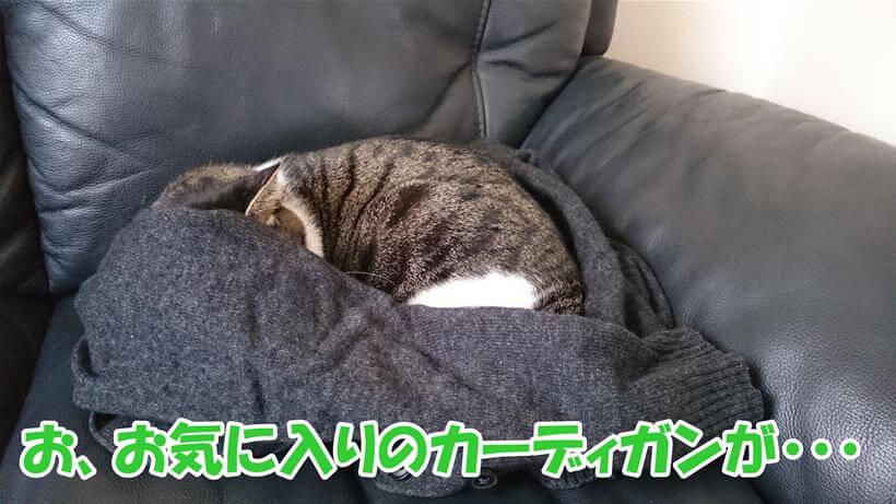 飼い主のカーデガンの上で寝ている愛猫ミミ