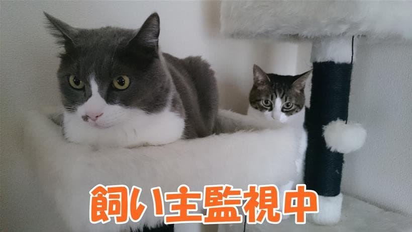 キャットタワーから飼い主を監視している愛猫たち