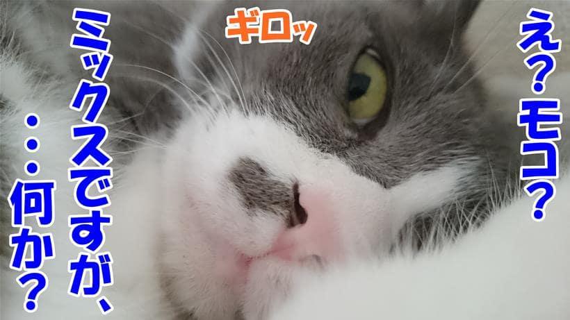 ミックスであることに文句でもあるのかと睨んでいる体の愛猫モコ
